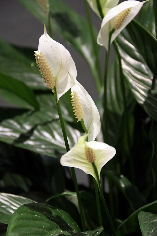 Peace lilies are one of the prettier indoor plants out there - their beautiful white flowers are a nice change from the standard dark green indoor plant options, and they're air-purifying. They deal better with underwatering than overwatering, so they make a good choice for a room where they might be forgotten, like a bathroom. Plus, one of the best ways to water them is in the shower to dampen the leaves!