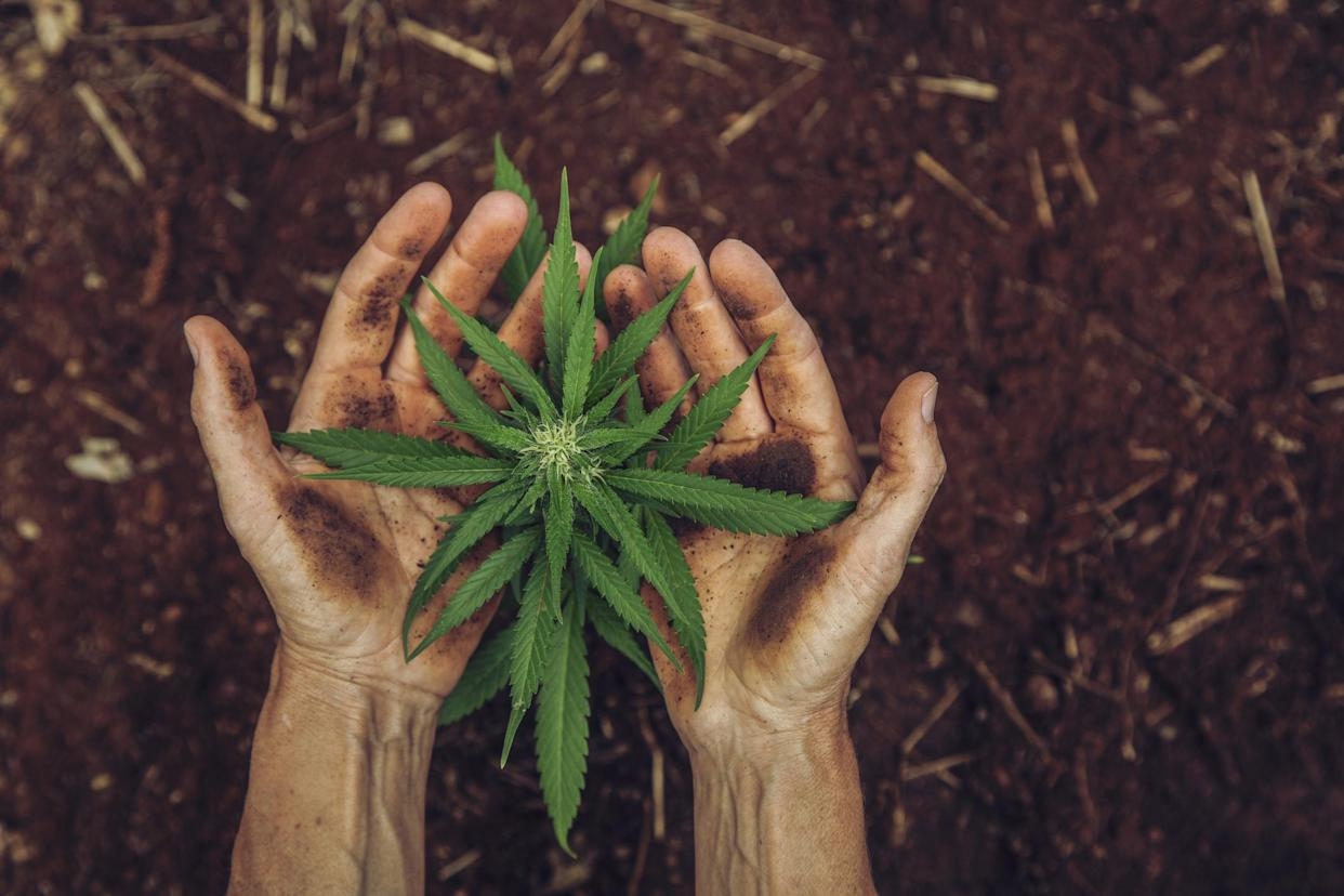 Hemp has been hailed by experts as a 'wonder' crop. (Getty Images)