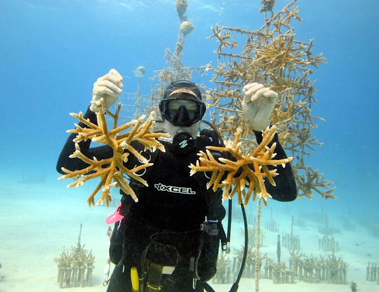 In this undated photo, provided by the Coral Restoration Foundation via the Florida Keys News Bureau, Ken Nedimyer, president of the Coral Restoration Foundation, poses in the organization's coral nursery off Key Largo, Fla., with juvenile coral cuttings. Nediymer partners with Florida Keys hotels and dive operators to offer opportunities for visitors to learn about coral and do volunteer work in the nursery. (AP Photo/Coral Restoration Foundation via the Florida Keys News Bureau, Kevin Gaines)