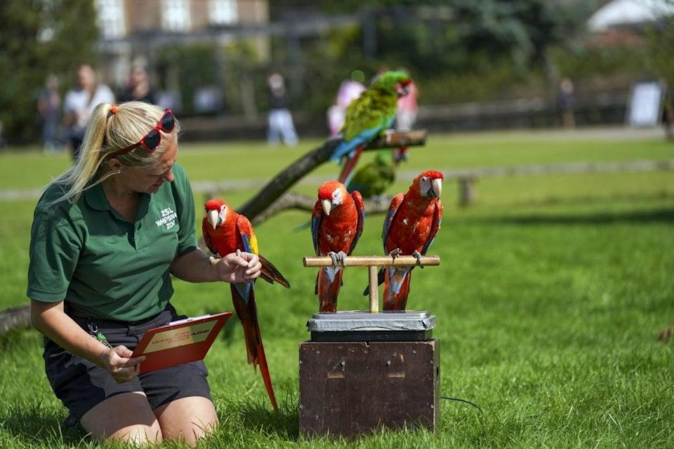 Scarlet macaws assemble with keeper Liz Brown (Steve Parsons/PA) (PA Wire)
