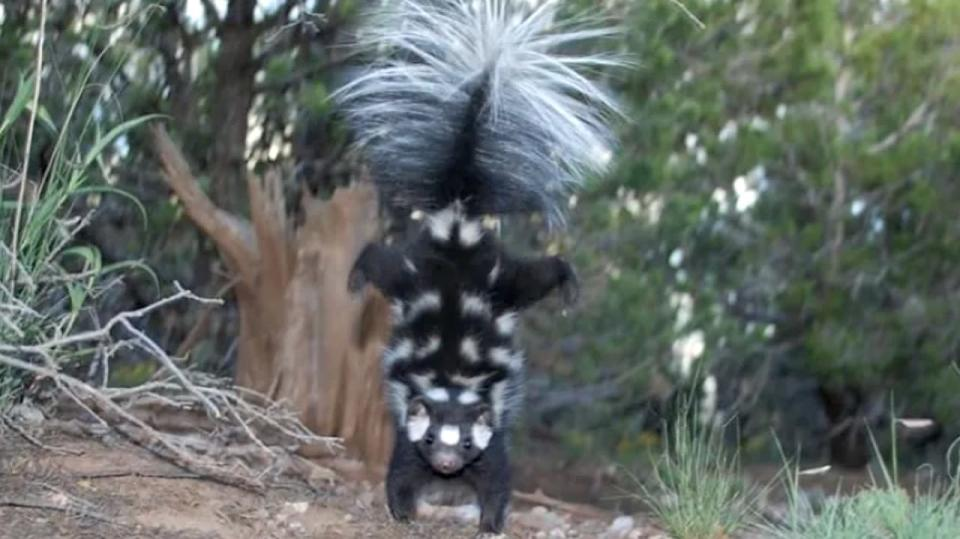Spotted skunk/Jerry W. Dragoo