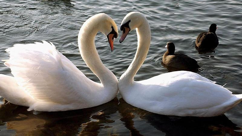 Two swans form the shape of a heart with their necks as they float on the Lake Geneva, Switzerland, Monday, Feb. 10, 2003, heralding the upcoming Valentine's Day on Friday, Feb 14th. (AP Photo/Keystone, Martial Trezzini)