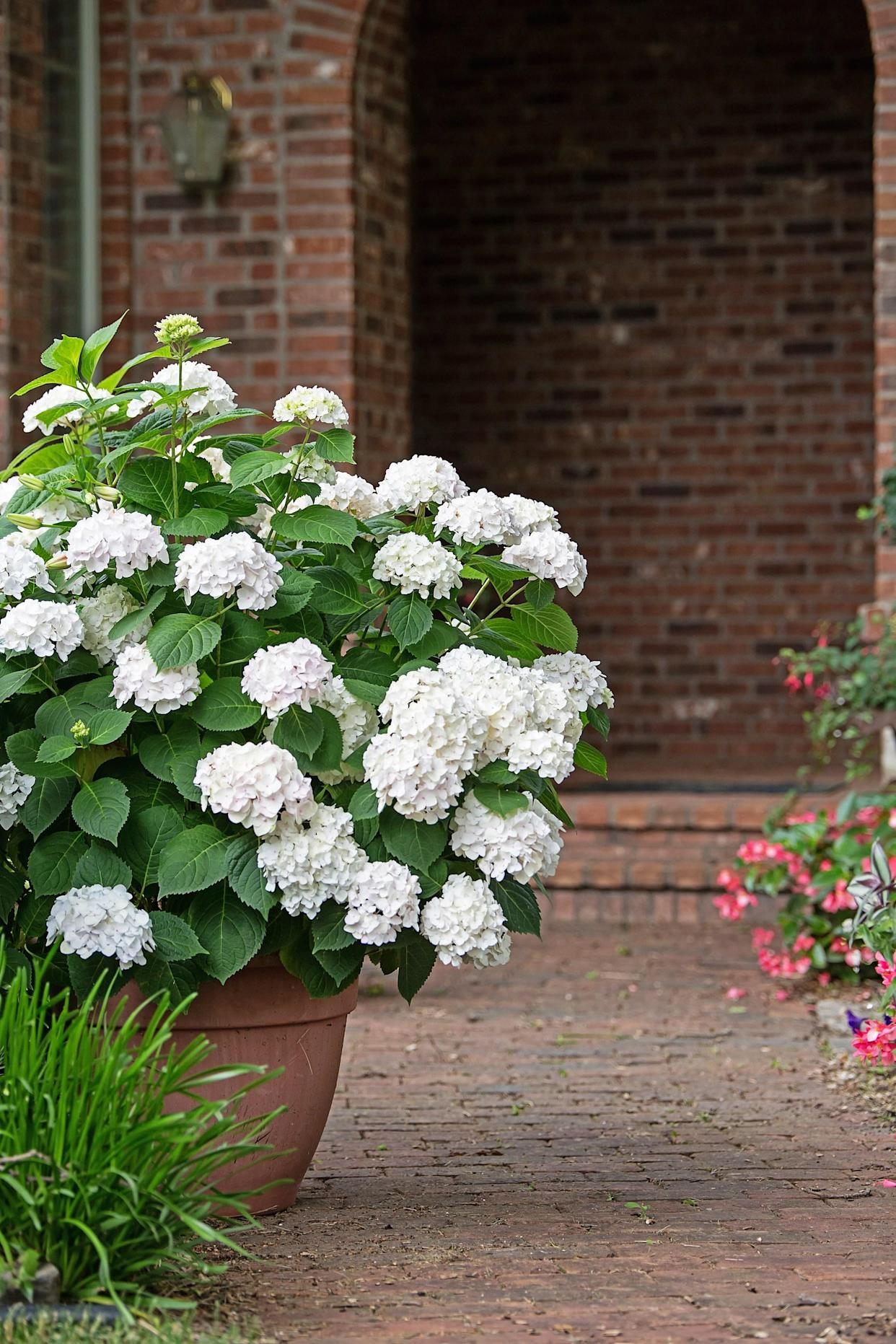 "<div class=""caption""> Blushing Bride hydrangeas. </div> <cite class=""credit"">Photo: Tracy Walsh (courtesy of Bailey Nurseries)</cite>"