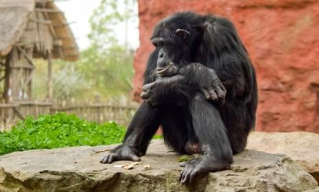 Sigh. Midlife can feel bleak for chimps too, only they can't perk themselves up with extravagant gifts.
