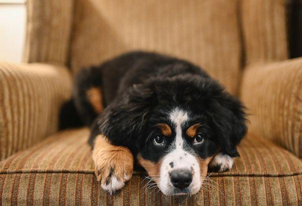 PHOTO: Bernese Mountain Dog, Mochi, was introduced as a dog 'who loves people and loves to sleep' at Macon Funeral Home in Franklin, North Carolina. (Credit: Courtesy of Callie Lynch Photography)