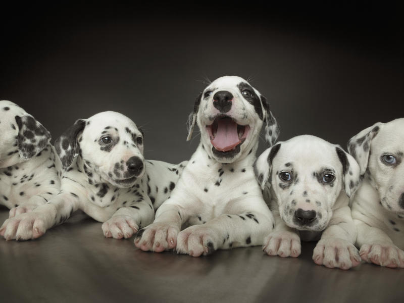 Group of dalmatian puppies in line, one in centre panting
