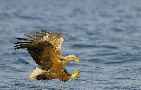 A wild-tailed eagle - Credit: Getty