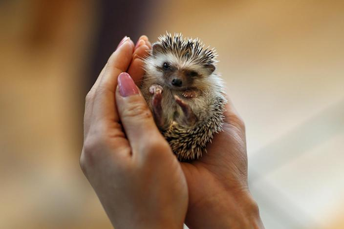<p>A woman holds a hedgehog at the Harry hedgehog cafe in Tokyo, Japan, April 5, 2016. In a new animal-themed cafe, 20 to 30 hedgehogs of different breeds scrabble and snooze in glass tanks in Tokyo's Roppongi entertainment district. (REUTERS/Thomas Peter) </p>