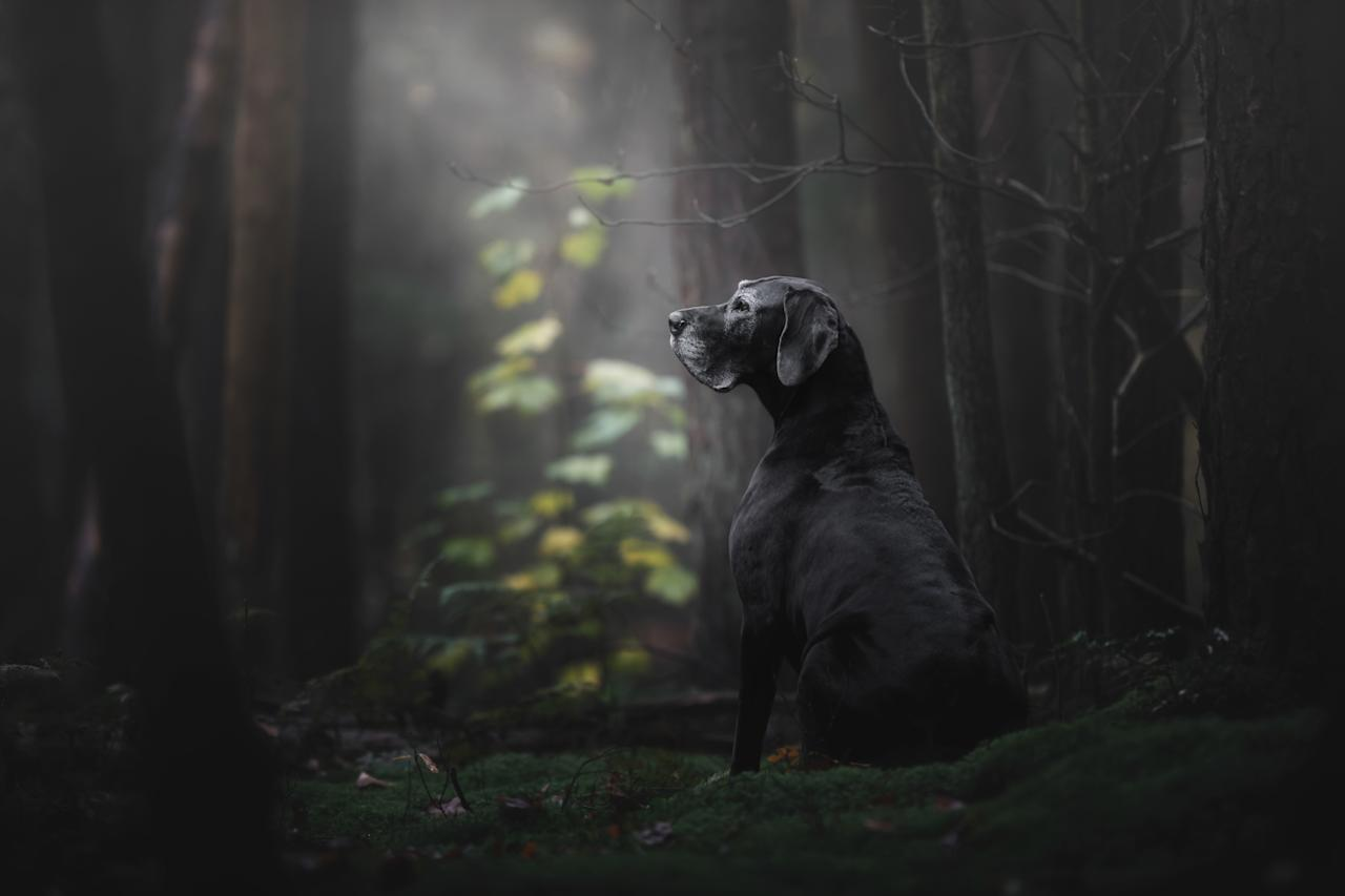 <p>Overall winner was Monica van der Maden from the Netherlands with an image of Noa the Great Dane seemingly alone in a forest,<br />which placed first in the 'Oldies' category. [Picture: Monica van der Maden/Kennel Club] </p>