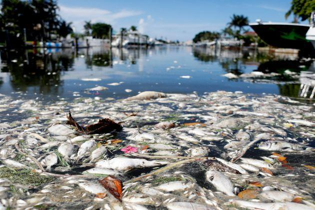 The current red tide outbreak has killed hundreds of tons of marine life in Florida. (Photo: Octavio Jones via Getty Images)