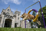 Chet, a berger picard, performs a jump in an agility obstacle Tuesday, June 8, 2021, in Tarrytown, N.Y., at the Lyndhurst Estate where the 145th Annual Westminster Kennel Club Dog Show will be held outdoors, (AP Photo/John Minchillo)