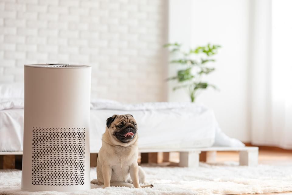 Dog Pug Breed and Air purifier in cozy white bed room