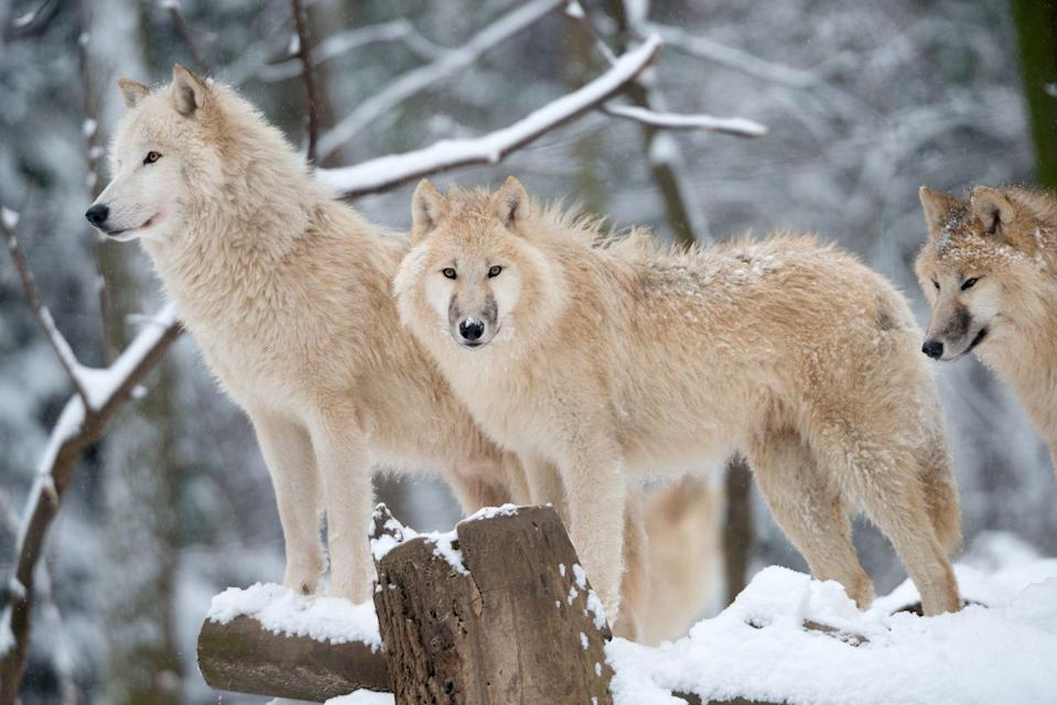 """<p>Arctic wolves are, obviously, born to withstand super cold temperatures. They're one of only a few mammals who can <a href=""""https://switchzoo.com/profiles/arcticwolf.htm"""" rel=""""nofollow noopener"""" target=""""_blank"""" data-ylk=""""slk:deal with the low temps"""" class=""""link rapid-noclick-resp"""">deal with the low temps</a> they live in, and they can even be found near the North Pole.</p>"""