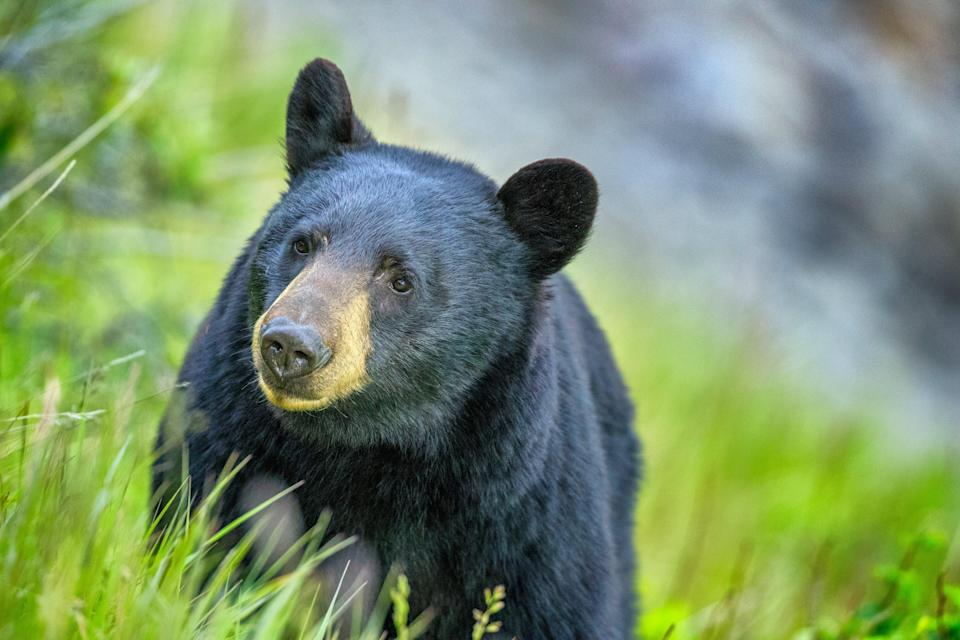 Bears and other animals have been seen coming into densely populated areas.  (Getty Images)