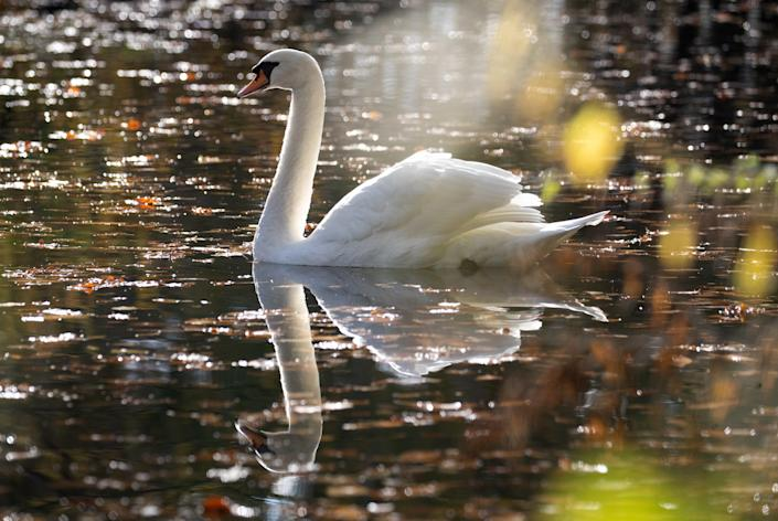 A swan making its way along the Basingstoke canal near to Dogmersfield in Hampshire.  (PA)