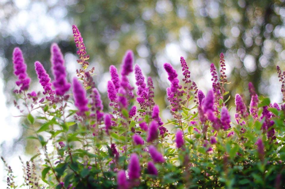 <p>This delightful flowering shrub is an especially great choice for those living in USDA Hardiness Zones 5-9 and blooms all summer long.</p>