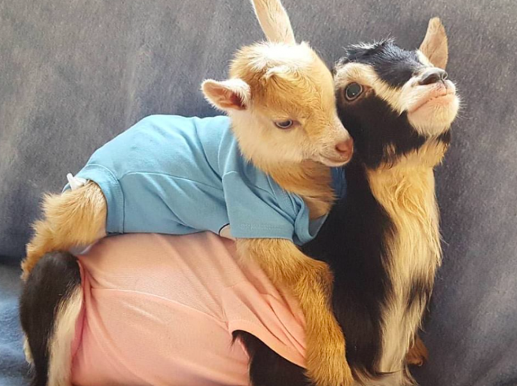 This Rescue Goat With Anxiety Only Calms Down When Shes Wearing - Rescue goat suffers anxiety calms duck costume