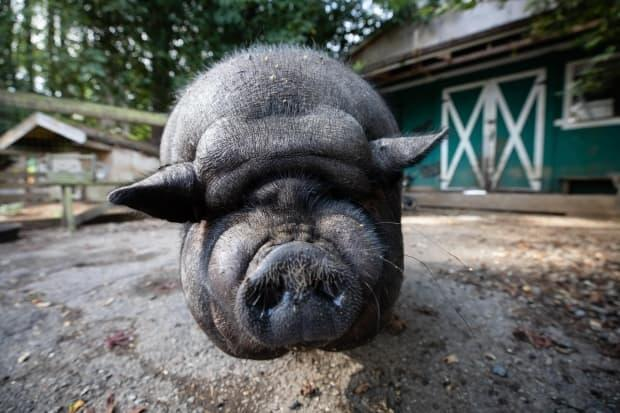 Sugar Ray at the Hearts on Noses pig sanctuary in Mission, B.C., on Sept. 9. Sanctuary owners are asking people considering buying a pig as a pet to consult local bylaws and consider the size of fully grown pigs before they buy.  (Maggie MacPherson/CBC - image credit)