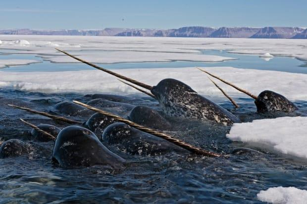 A new study examines the layers of bone in a narwhal's tusk for clues to gradual shifts in their health, environment and behaviour over decades.  (Paul Nicklen/WWF - image credit)