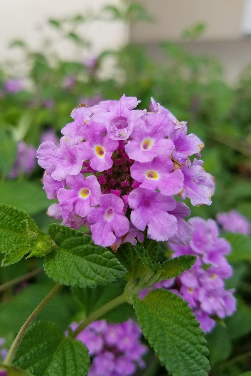"""<p>Due to their prominent place in religious ceremonies throughout history, these petite purple flowers mean """"pray for me."""" They can also represent protection against evil, which may be why they showed up in those ceremonies in the first place. </p>"""