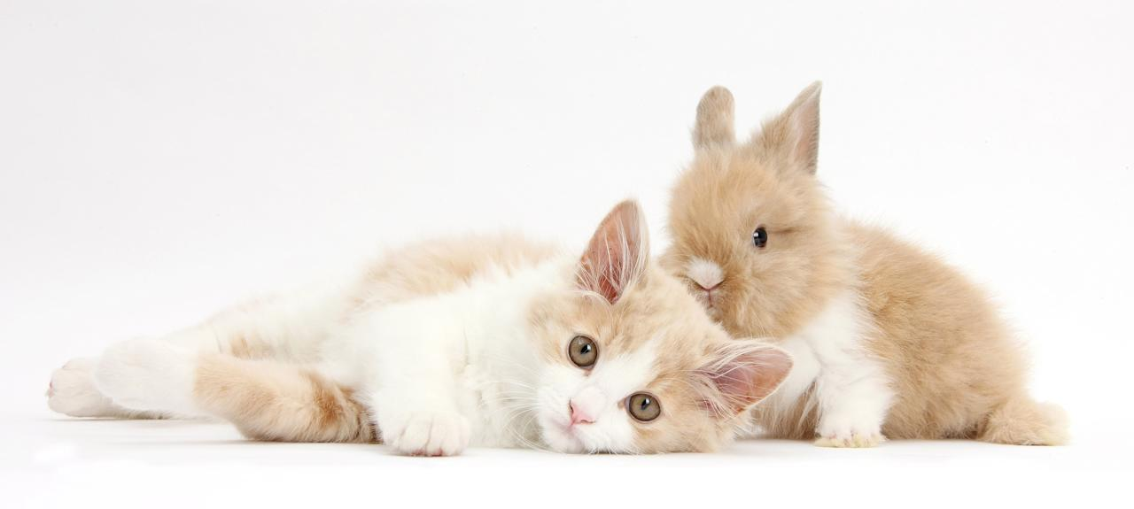 <p>Ginger-and-white Siberian kitten, 16 weeks old, with baby Lionhead rabbit. (Photo: Warren photographic/Caters News) </p>