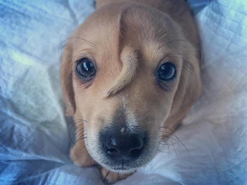 Narwhal, the 10-week-old puppy with a tail growing out of his forehead, is a viral sensation. (Photo: Facebook)