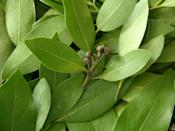 <p>Whether you use bay leaves in your soups and spaghetti sauces or choose to keep them dried around the house to repel insects like ants, cockroaches, and fleas, they're a great plant to have and grow.</p>