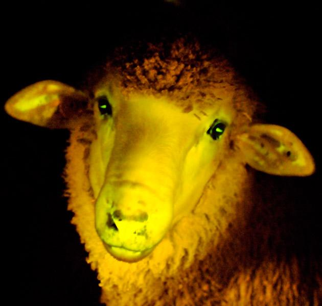 A transgenic lamb, that has an incorporated gene that makes it glow under ultraviolet light, is seen in this picture taken on April 5, 2013 and released by the Animal Reproduction Institute Uruguay (IRAUy).