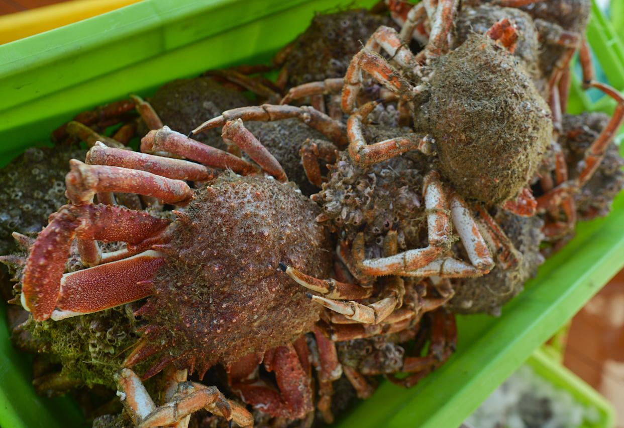 A basket with spider crabs seen inside a fish market in Port-en-Bessin. On Friday, August 2, 2019, in Caen, Normandy, France. (Photo by Artur Widak/NurPhoto via Getty Images)