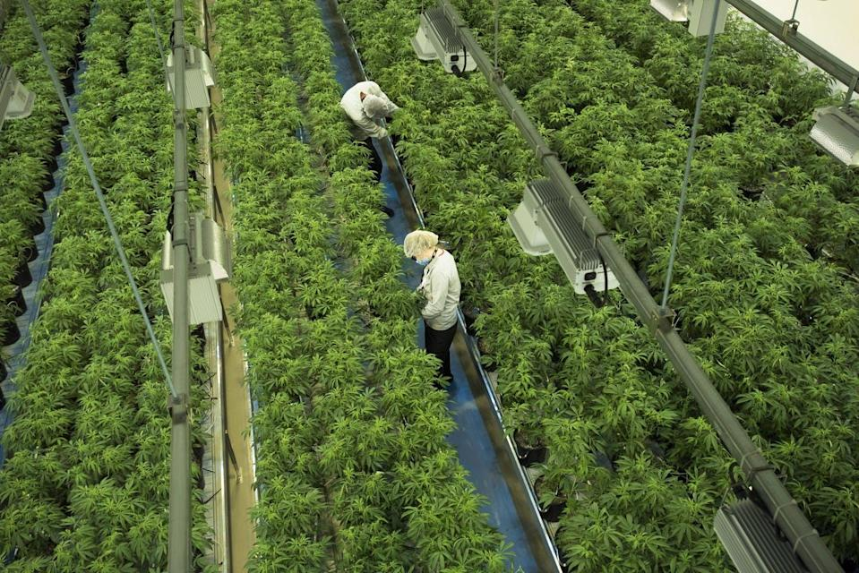 Workers tend to marijuana plants in a cannabis-producing facility.