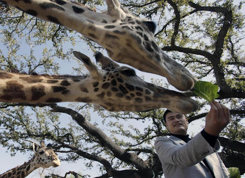 Former Houston Rockets basketball player Yao Ming feeds the giraffes at the Houston Zoo on Thursday, Feb. 14, 2013, in Houston. Yao has been working to bring awareness to the need to protect endangered species, a cause he's undertaken since retiring from basketball in 2011. (AP Photo/Pat Sullivan)