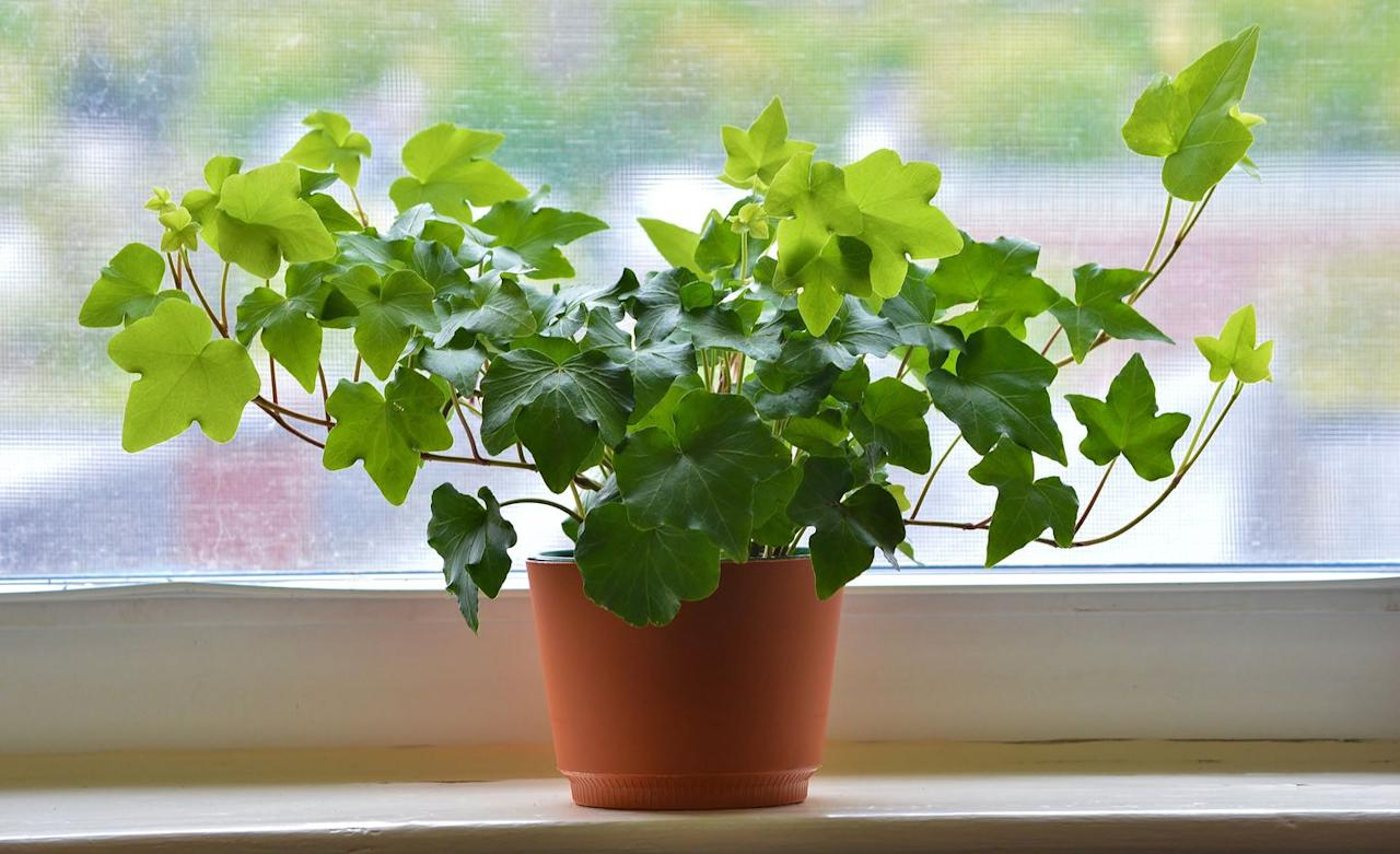 "<p>This hardy plant likes moderate light, but it can adjust to low light. English ivy works in pots, hanging baskets, or trained as a topiary. Let it dry out before watering.</p><p><a class=""body-btn-link"" href=""https://www.amazon.com/AMERICAN-PLANT-EXCHANGE-Easy-English/dp/B07P3N1SBL/ref=sr_1_1?keywords=ENGLISH+IVY&qid=1580922842&sr=8-1&tag=syn-yahoo-20&ascsubtag=%5Bartid%7C10050.g.30779083%5Bsrc%7Cyahoo-us"" target=""_blank"">SHOP ENGLISH IVY</a></p>"