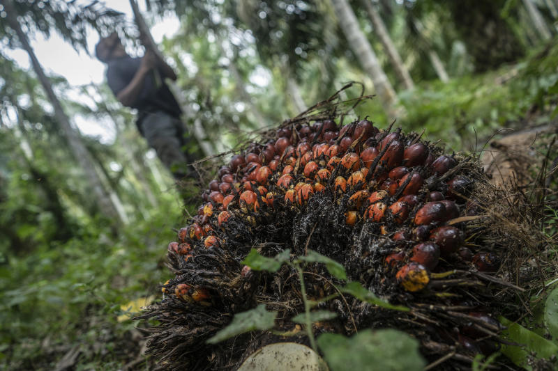 KUTA MAKMUR, NORTH ACEH, INDONESIA - 2020/01/21: Palm oil fruit after being harvested at a palm oil plantation area in Kuta Makmur, North Aceh Regency. After two consecutive years of distress, in early 2020 the price of Crude Palm Oil or CPO has increased. The price of CPO contracts on the Malaysian exchange is at the level of RM2,943 or 723USD per ton. The price increase was due to political problems between Malaysia and India related to the issue of Kashmir. Although the price of palm oil has increased, yields from some farmers in Aceh province have declined due to the condition of palm oil fruit that failed to harvest. (Photo by Zikri Maulana/SOPA Images/LightRocket via Getty Images)