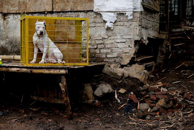 <p>Dog breeder Agus Badud's dog sits in his cage after he got washed in Cibiuk village of Majalaya, West Java province, Indonesia, Sept. 27, 2017. (Photo: Beawiharta/Reuters) </p>