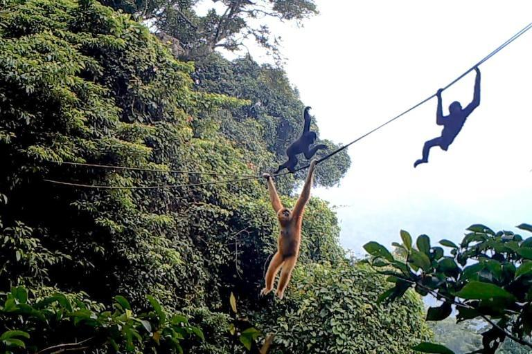 Some Hainan gibbons strode across the mountaineering-grade ropes like tight-rope walkers, while others moved underneath, swinging arm to arm