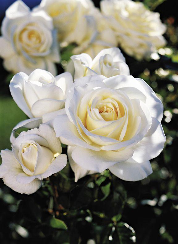 <p>Glossy green leaves and tall clusters of striking creamy white blooms give this modern hybrid rose its elegant look. Even better, it grows on trouble-free shrubs—and it smells like raspberries! </p>