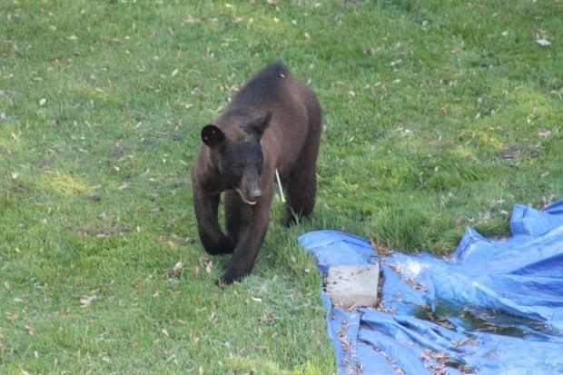 The bear has been shot with a tranquilizer but is still on the move. (Submitted by William Weston - image credit)