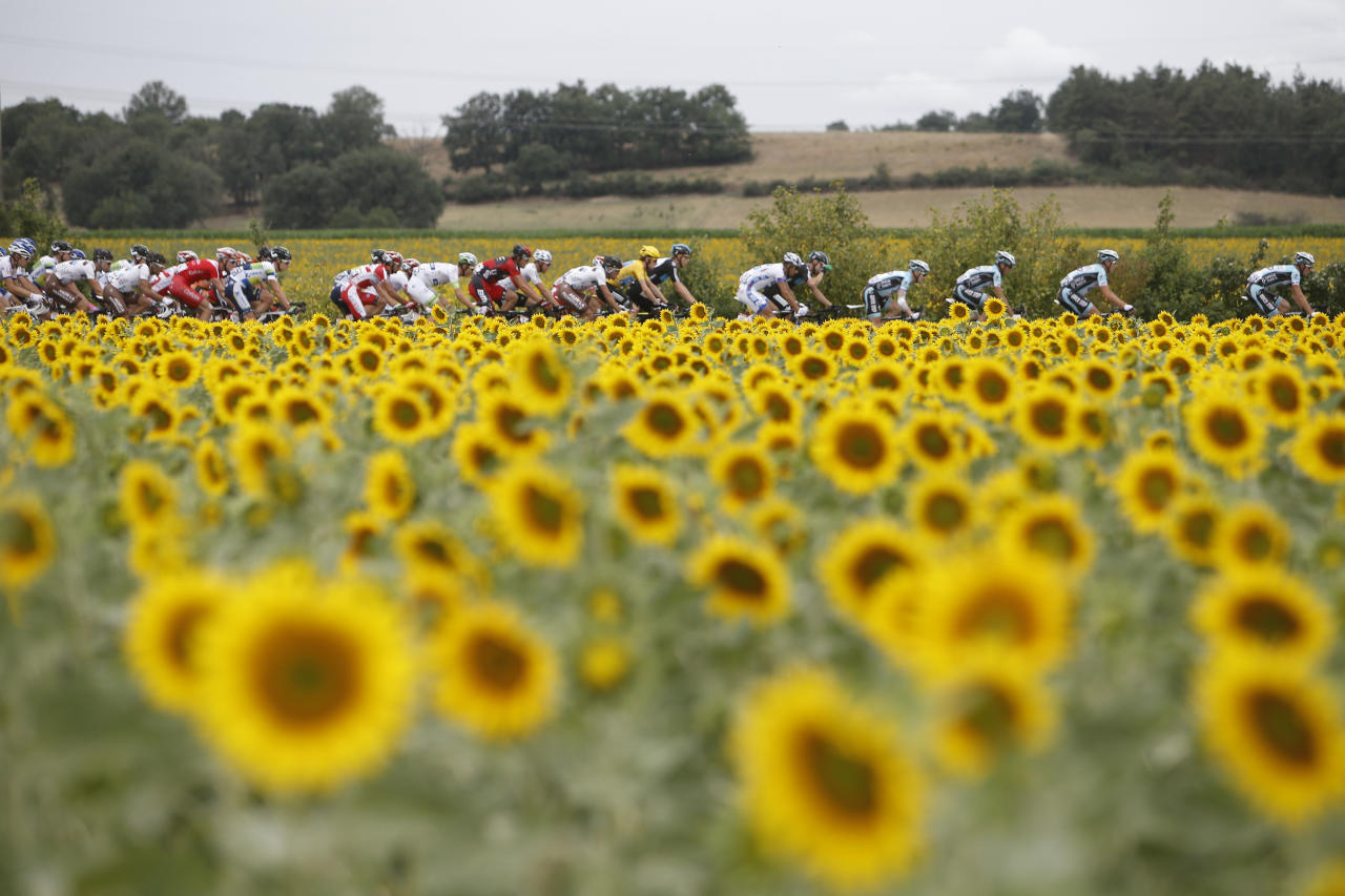 The pack with Bradley Wiggins of Britain, wearing the overall leader's yellow jersey, passes a field with sunflowers during the 18th stage of the Tour de France cycling race over 222.5 kilometers (138.3 miles) with start in Blagnac and finish in Brive-la-Gaillarde, France, Friday July 20, 2012. (AP Photo/Laurent Cipriani)