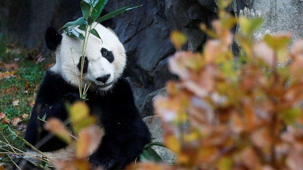 PHOTO: Bei Bei, the giant panda, is seen for the last time at the Smithsonian National Zoo in Washington, D.C., before his departure to China, Nov. 19, 2019. (Yara Nardi/Reuters)