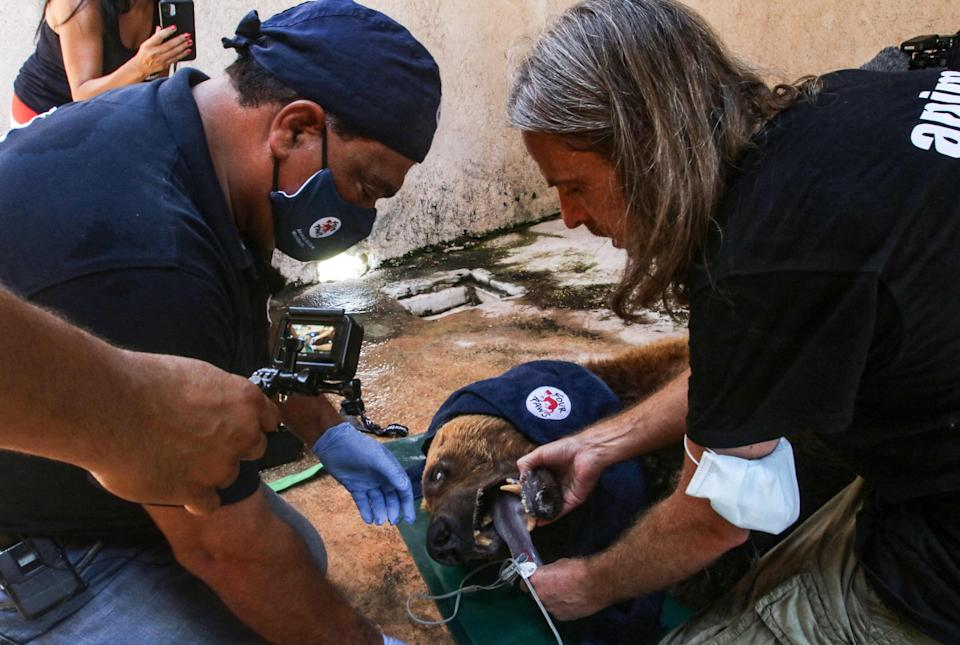 """One of two Syrian brown bears is sedated and examined before being transferred to the United States by members of the global animal welfare organization Four Paws, near Tyre, Lebanon, July 18, 2021. Four Paws and the local NGO Animals Lebanon is relocating the """"Beirut Bears,"""" from inadequate conditions after economic collapse, civil unrest, and the COVID-19 pandemic left the owners of the 18-year-old bears unable to provide them with proper food and medical care."""