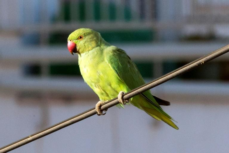 Thousands of rose-ringed parakeets, close relatives of parrots, have made their home in the Netherlands over the past five decades, and their growing presence has become a source of noisy debate