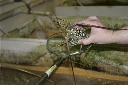 Researcher Bobkov of the UF Whitney Laboratory for Marine Bioscience holds a Florida spiny lobster in the laboratory in San Augustine