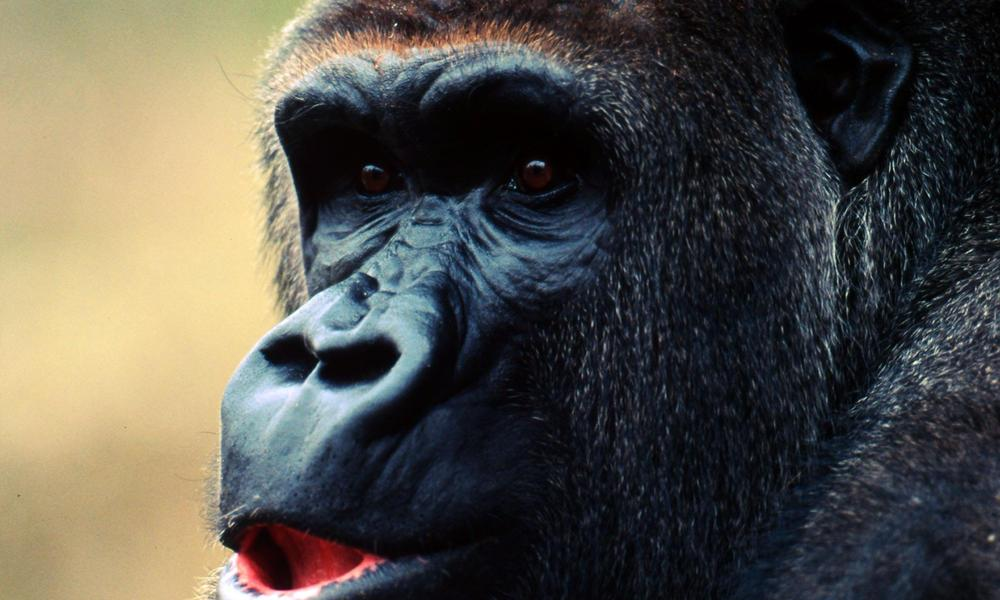 <p>Cross River gorillas, who live in the Congo basin, have been affected by human activity such as deforestation. (Photo: WWF) </p>