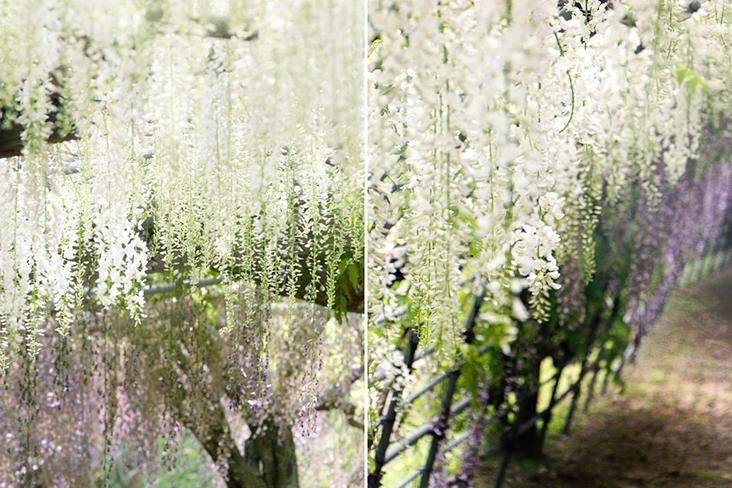 A white shower of snowy wisteria blooms.