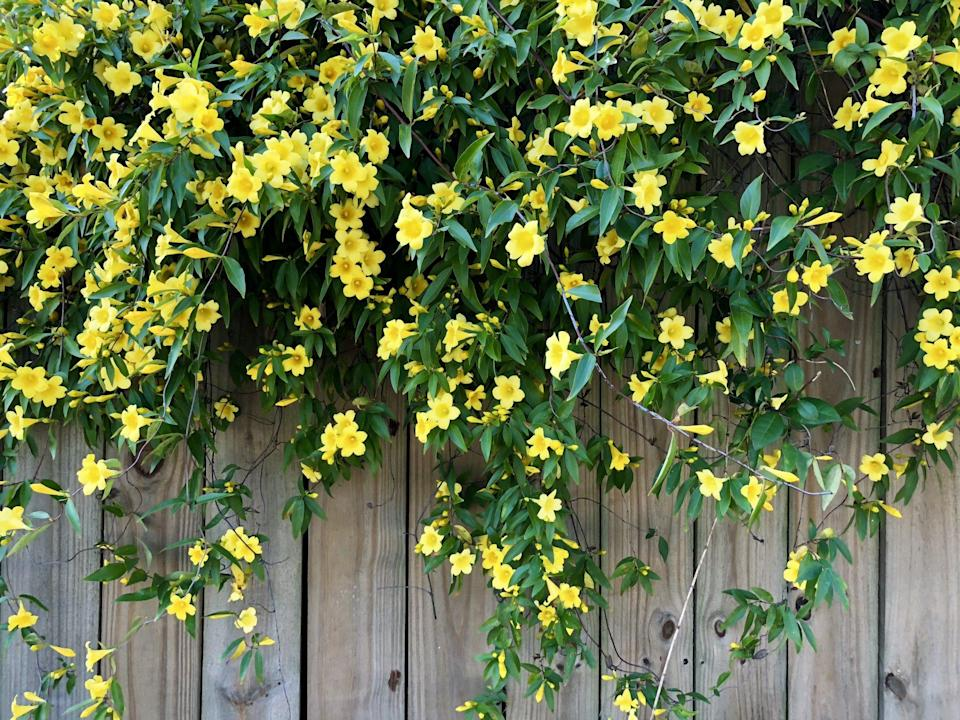 """<p>Let's just get this out of the way: <a href=""""https://www.southernliving.com/garden/grumpy-gardener/jesssamine-and-jasmine-two-fine-wines"""" rel=""""nofollow noopener"""" target=""""_blank"""" data-ylk=""""slk:It's Carolina jessamine, not Carolina jasmine."""" class=""""link rapid-noclick-resp"""">It's Carolina jessamine, not Carolina jasmine.</a> Jessamine is characterized by golden bell-shaped flowers that make their appearance toward the end of winter. It's a delicate vine, meaning it won't take out your mailbox as it grows and matures. They'll take sun or a bit of light shade.</p>"""