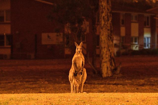 This picture taken on Dec. 31, 2019 shows a kangaroo trying to move away from nearby bushfires at a residential property near the town of Nowra in the Australian state of New South Wales. Fire-ravaged Australia has launched a major operation to reach thousands of people stranded in seaside towns after deadly bushfires ripped through popular tourist areas on New Year's Eve. (Photo by SAEED KHAN/AFP via Getty Images)