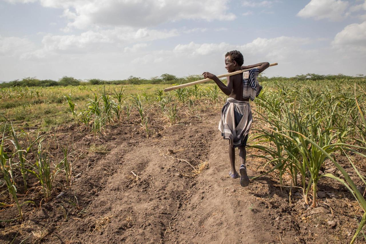 In this photo taken on Tuesday, Jan. 26, 2016, A young Afar boy walks through failed crops and farmland in Magenta area of Afar, Ethiopia. Morbid thoughts linger on people's minds in the area. The crops have failed and farm animals have been dying amid severe drought that has left Ethiopia appealing for international help to feed its people.  (AP Photo/Mulugeta Ayene)