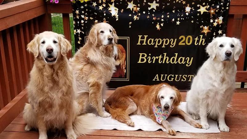 Birthday girl Augie ate a carrot cake and spent some quality time with her golden retriever siblings, Sherman, Bruce and Belle.