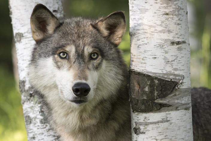 The gray wolf or grey wolf (Canis lupus) is a canid native to the wilderness and remote areas of North America, Eurasia, and North Africa. It is the largest member of its family, with males averaging 43-45 kg (95-99 lb), and females 36-38. 5 kg (79-84. 9 lb). It is similar in general appearance and proportions to a German shepherd, or sled dog, but has a larger head, narrower chest, longer legs, straighter tail and bigger paws. Its winter fur is long and bushy, and predominantly a mottled gray in colour, although nearly pure white, red, or brown to black also occur.