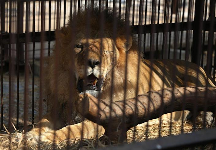 <p>A former circus lion who's missing an eye rests inside a cage at a temporary refuge in the outskirts of Lima, Peru, on April 26, 2016. (Martin Mejia/AP)</p>